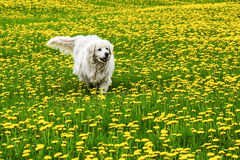 Dog in meadow with yellow flowers Stock Photography