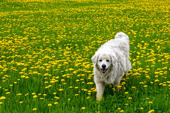Dog in meadow with yellow flowers Stock Photos