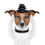 Dog meditation Stock Images