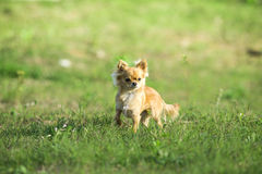 Dog. An medium-sized dog standing in grass stock photo