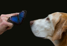 Dog meets blue morpho. A dog looks interested at the Butterfly in the hand Stock Photo