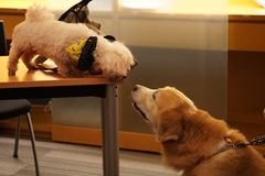 Dog meets dog. Maltese and golden retriever meets for the first time and found love Royalty Free Stock Photo