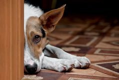 Dog melancholy. The grieving dog, lies and looks because of a door Stock Photography