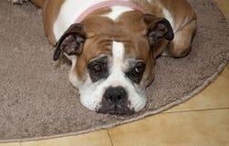 Dog melting on the carpet Royalty Free Stock Image