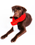 Dog with merry christmas scarf Royalty Free Stock Images
