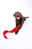 Dog with merry christmas scarf Royalty Free Stock Image