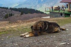 Dog, Mestija, Georgia. Laying dog in mountain in Mestija, Georgia royalty free stock images