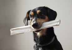 Dog with metal chain is holding newspaper Stock Image