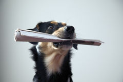 Dog with metal chain is holding newspaper Stock Photography