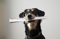 Dog with metal chain is holding newspaper Royalty Free Stock Image