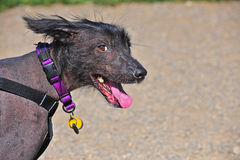 Dog Mexican Hairless portrat royalty free stock image