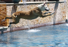 Dog in mid-air over the swimming pool Royalty Free Stock Image