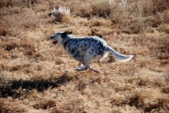 Dog Midair Legs Folded Under Running. A happy, energetic dog runs with all four paws folded in as it runs. White with black spots Royalty Free Stock Photos