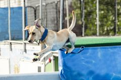 Dog in midair over pool a. T splash challenge royalty free stock photography
