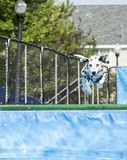 Dog leaping in midair over pool. Dog in midair over pool at splash challenge royalty free stock photos