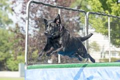 Dog leaping in midair over pool. Dog in midair over pool at splash challenge royalty free stock photography