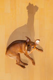 Dog mini pinscher lying on wood floor with shadow Stock Photography