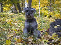 Dog, Miniature Schnauzer Royalty Free Stock Photo