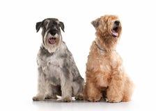 Dog. Miniature schnauzer and irish soft coated wheaten terrier stock photo
