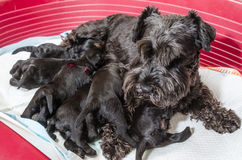 Dog miniature schnauzer puppies feeds Royalty Free Stock Image
