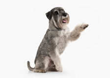Dog. Miniature schnauzer on white background stock photos