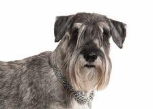 Dog. Miniature schnauzer on white background royalty free stock image