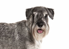 Dog. Miniature schnauzer on white background royalty free stock photography