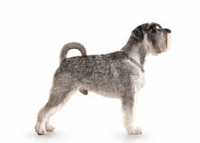 Dog. Miniature schnauzer on white background. Miniature schnauzer on white background stock image