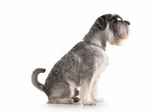 Dog. Miniature schnauzer on white background stock images