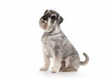 Dog. Miniature schnauzer on white background royalty free stock photos