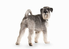 Dog. Miniature schnauzer on white background. Miniature schnauzer on white background royalty free stock photos