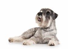 Dog. Miniature schnauzer on white background stock images
