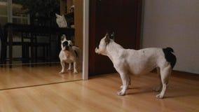 Dog in mirror. French bulldog pet Stock Image