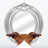 Dog at the mirror Stock Image