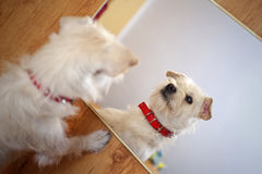 Dog in the mirror stock images