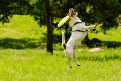 Dog missed target catching flying disk. Jack Russell Terrier playing and jumping at park stock photos
