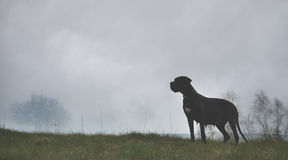 Dog in a mist. Big black dog standing in a mist Royalty Free Stock Images