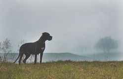 Dog in a mist Royalty Free Stock Images