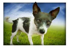 Dog mixed breed. A wiry haired black and white mixed breed looks from beyond a frame on a grassy lawn Stock Images