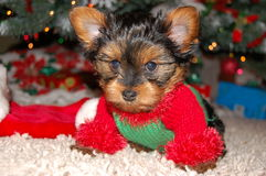 Dog modeling Christmas Sweater. Our little puppy was so tired of modeling for us Stock Image