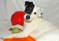 Dog modeling with her toys. Jack Russell with a tennis ball big red ball and a rubber frisbee Royalty Free Stock Image