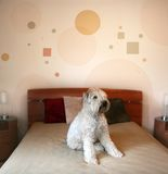 Dog in modern bedroom. Dog sitting on a bed in modern bedroom Stock Photo
