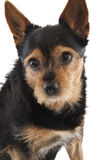 The dog molly Royalty Free Stock Photography