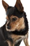 The dog molly Stock Photo