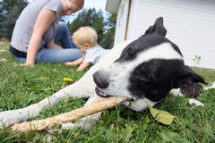 Dog, mom, and baby. Border Collie mix breed dog chewing on a wooden stick, lying on the green grass, with mom and baby in background Royalty Free Stock Image