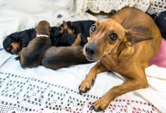 Dog with puppies. A purebred Miniature Pinscher dog warming and protecting her two weeks old sleeping puppies stock photo