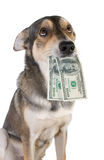 Dog with money Royalty Free Stock Photos