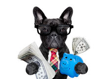 Dog money and piggy bank. Boss accountant rich french bulldog saving dollars and money with piggy bank or moneybox , with glasses and tie , isolated on white Stock Image