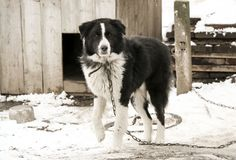 Dog mongrel black and white color on the chain walks near the kennel royalty free stock images