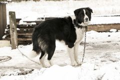 Dog mongrel black and white color on the chain walks near the kennel. Dog mongrel black and white color on the chain walks near the doghouse Royalty Free Stock Photos